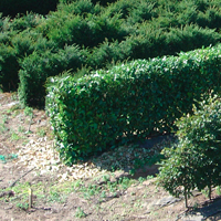 An Image of an Elveden Instant Hedge growing