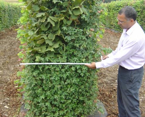 Man measuring the depth of an elveden instant hedge