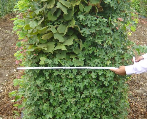Elveden Instant Hedge 50cm deep