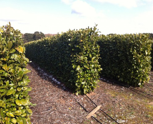 Rows of insatnt hedges