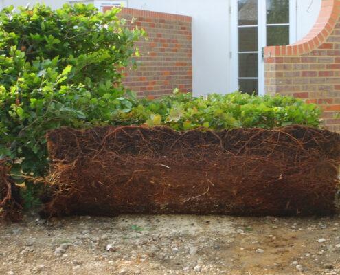 Root detail of an elveden instant hedge