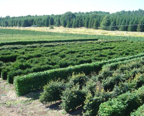 Our elveden instant hedge grow site