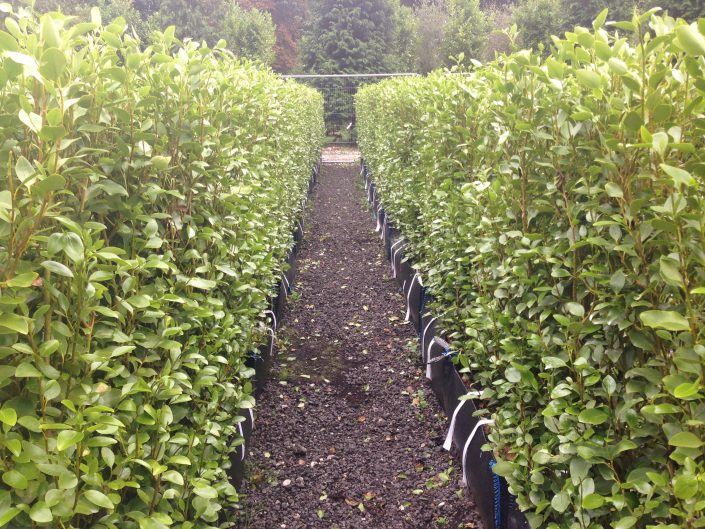 Griselinia littoralis Practical Instant Hedge ready grown