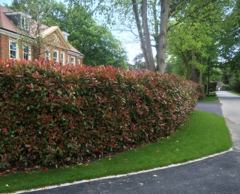 Photinia Instant Hedge just planted