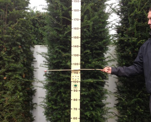 Measuring the height and width of an elveden instant hedge