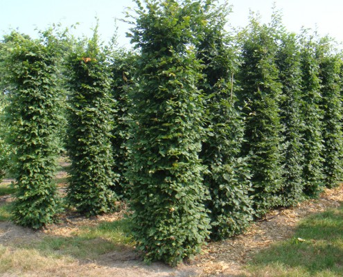 Rows of young hornbeam columns