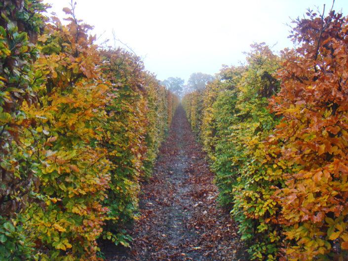 Beech Fagus sylvatica hedging row