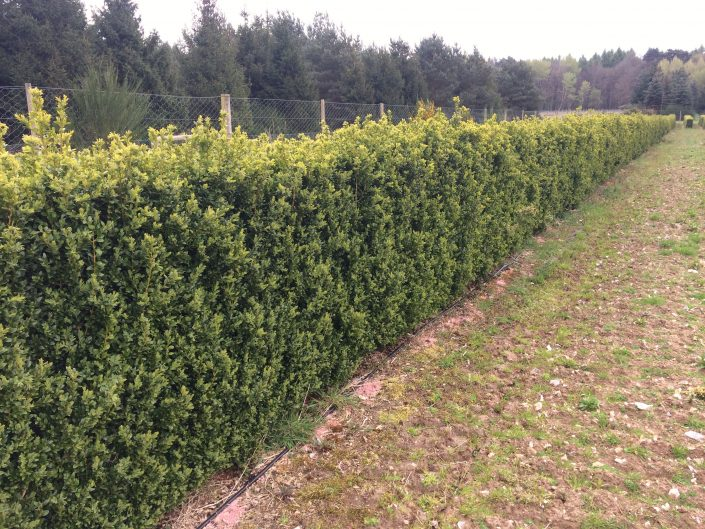 1.2m high Box Instant Hedge