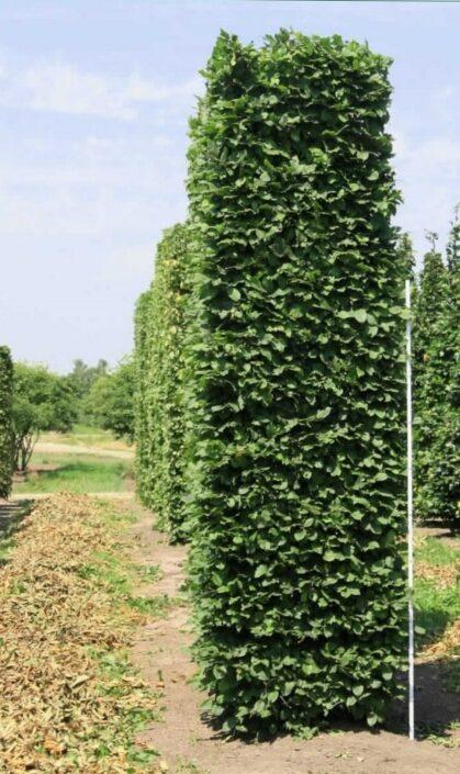 Image of a Carpinus betulus 3.5m hedge element