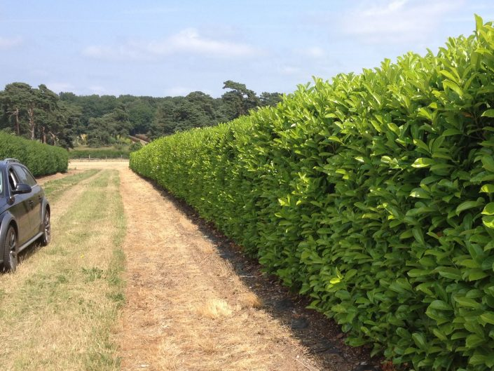 1.8m laurel hedging growing at Elveden