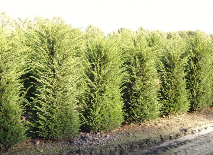 Image of a Hedging plants Taxus baccata 2.0-2.25m