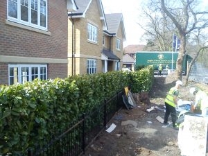 After Common Laurel elveden Instant Hedge planting