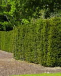 Image of Yew Taxus Hedging Grade Plants