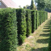 Image of a Yew Taxus baccata 1.5m element