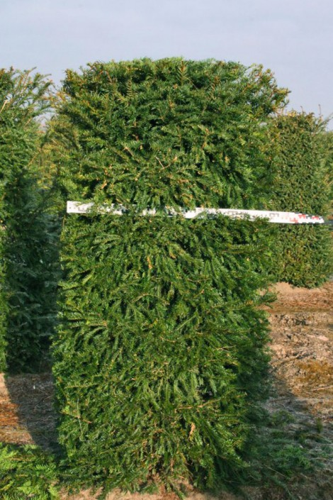 Image of a Yew Taxus baccata hedging element