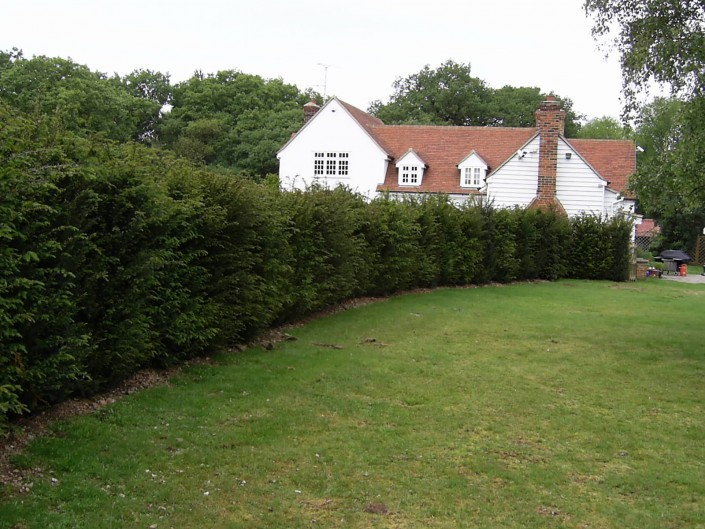 Image of Individual taxus hedging 2.25m high before trimming