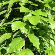 Deciduous leaf detail