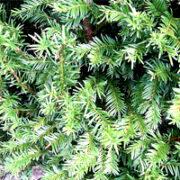 Evergreen Leaf detail