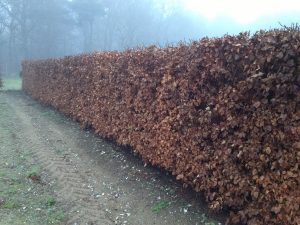 Beech Instant Hedge