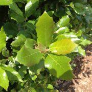 Holm oak leaf