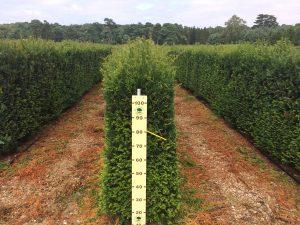 Elveden Yew Instant Hedge