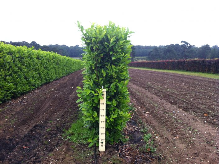 1.8m high Elveden Common Laurel Instant Hedge