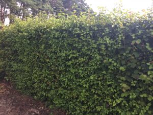 1.8m high Native Mix Instant Hedge at Elveden