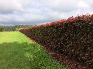 Photinia Instant Hedge