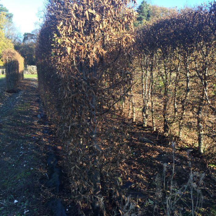 Hornbeam Instant Hedge