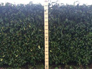 Portuguese Laurel Instant Hedge 1.8m high