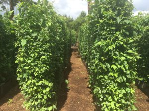 Practical Instant Native Mix Hedge growing in the nursery at Iver