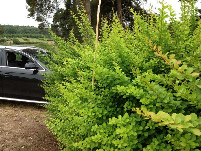 Berberis thunbergii leaf