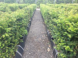 Yew Instant Hedge 80cm high