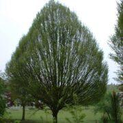 Carpinus betulus Fastigiata Hornbeam