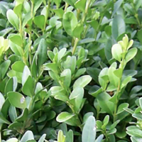 Box Evergreen Instant Hedge