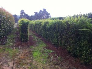 Berberis Instant Hedge