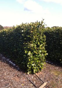 An evergreen instant hedge on our farm in Norfolk