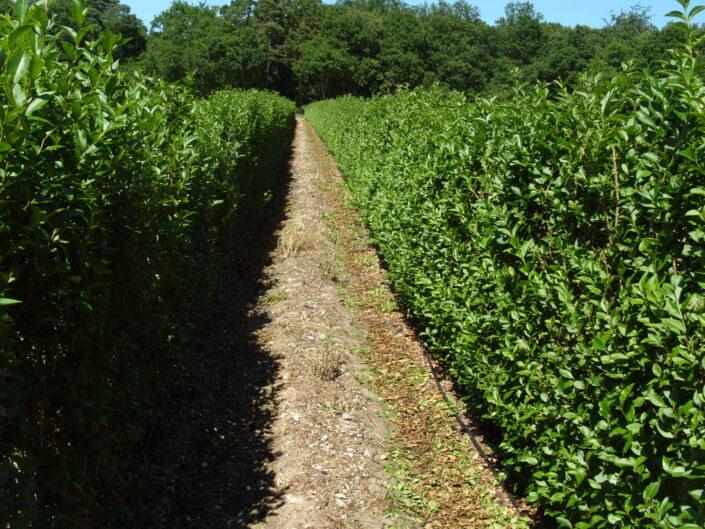 Elveden Instant Privet Hedge