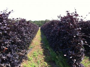 Purple Beech Instant Hedge