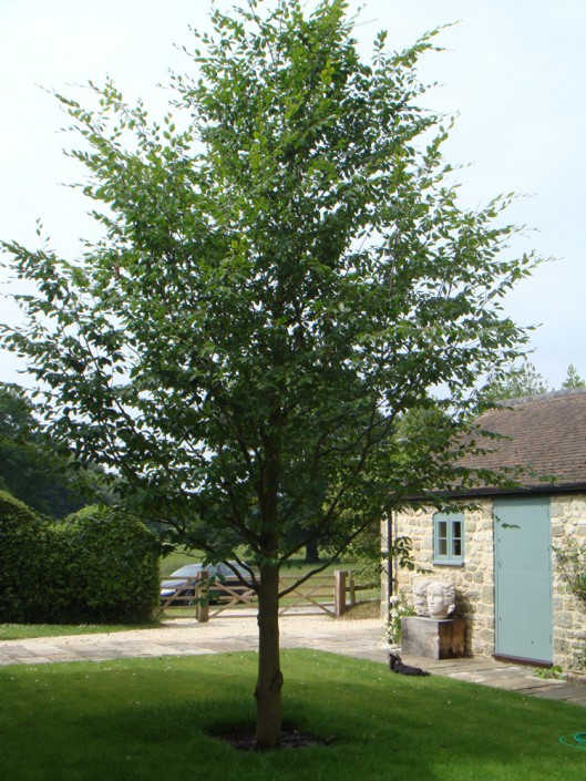 Large specimen tree in position