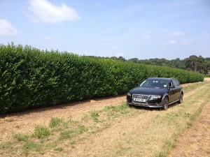 Evergreen privet instant hedge