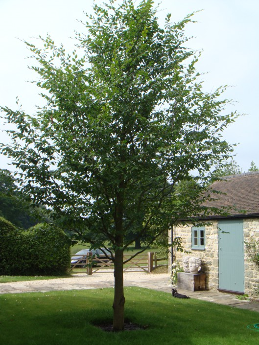 Beautiful specimen Chinese Beech tree in new location