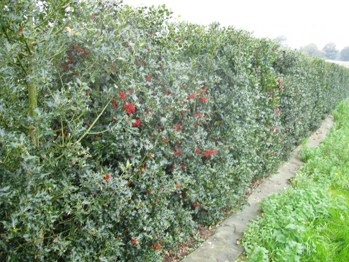 Elveden Holly Instant Hedge