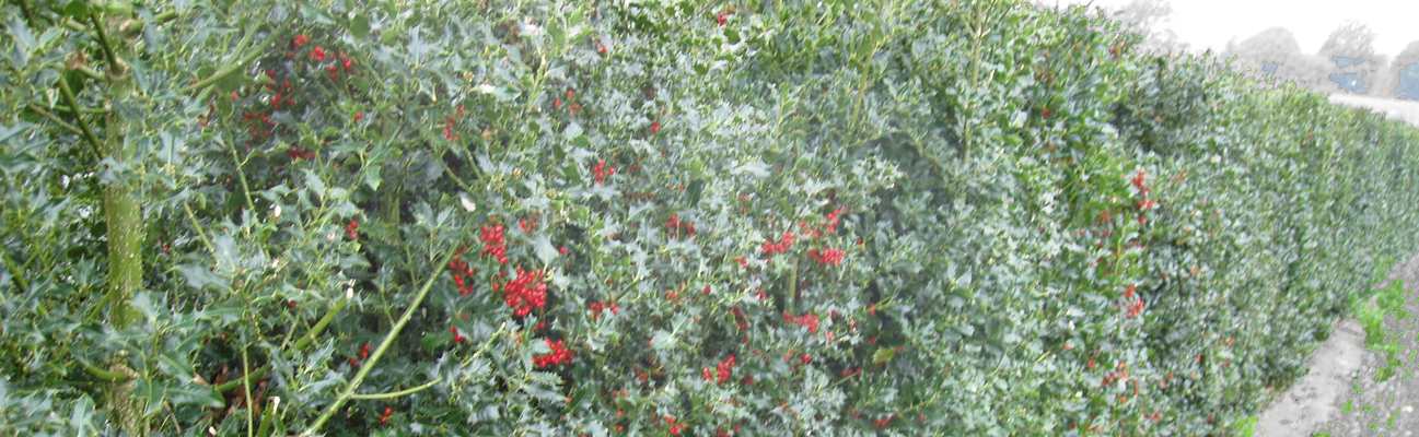A picture of a holly bush with red berries