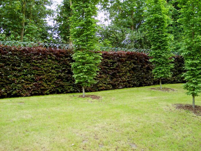 Purple Beech Instant Hedge providing a stunning backdrop