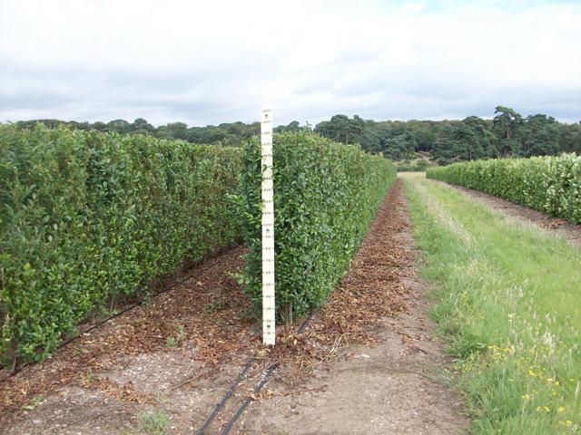 Instant hedge Privet (Ligustrum ovalifolium)