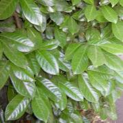 Laurel Evergreen Instant Hedge