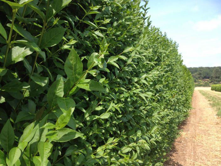 Privet Instant Hedge