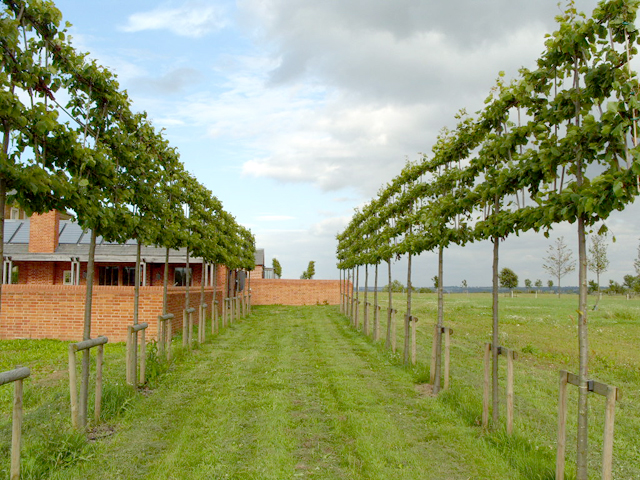 Row of pleached lime trees