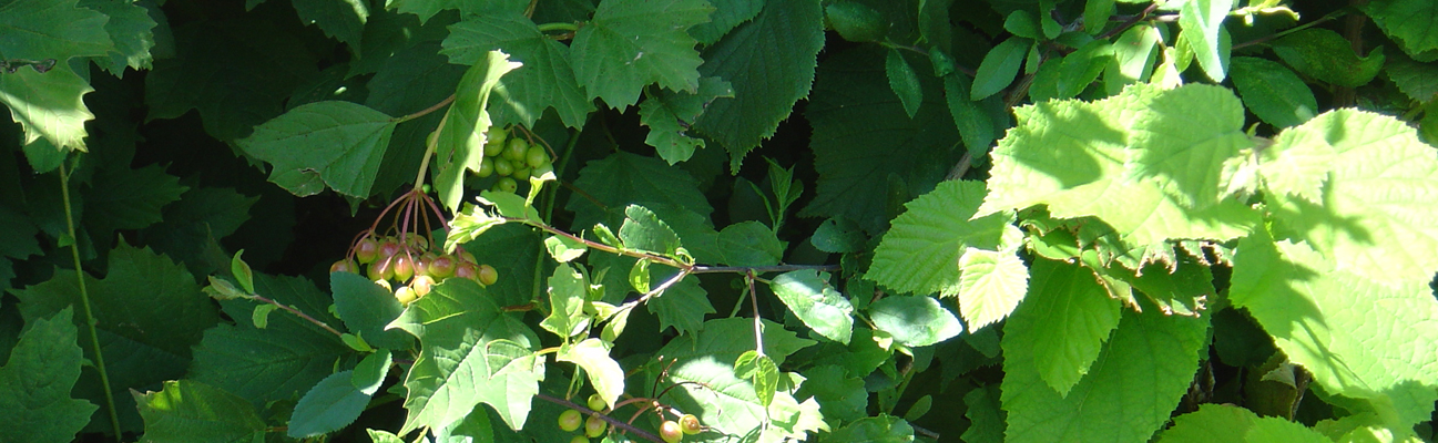 image of the leaf detail of the native mix instant hedge